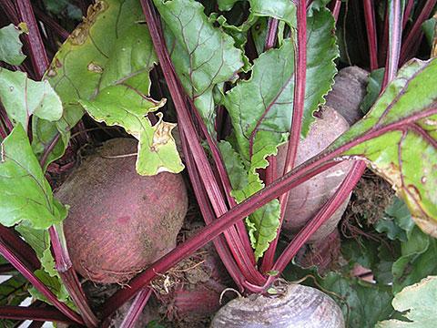 veg-beet