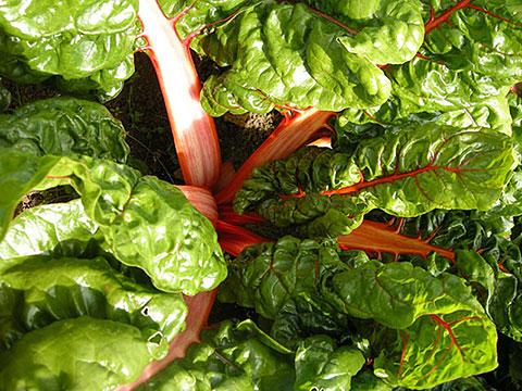 veg-chard
